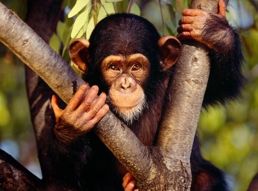 Chimpanzee (1).jpg